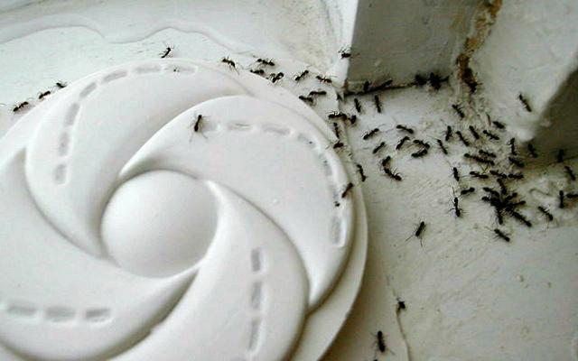 Argentine_ants