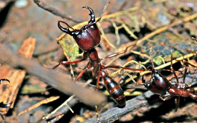Army_Ants_(Dorylus sp.)