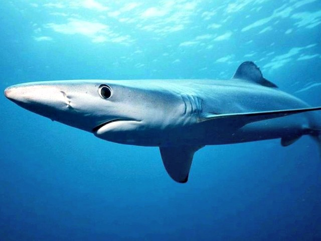 Blue_shark_Prionace_glauca