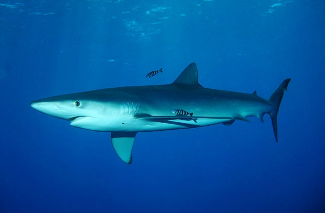 Blue_shark_female