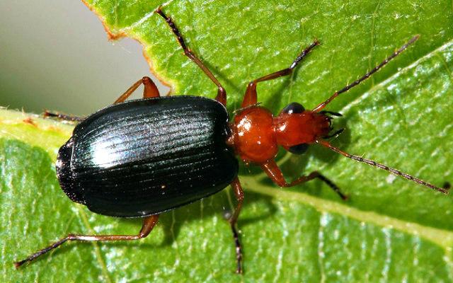 Bombardier_Beetle