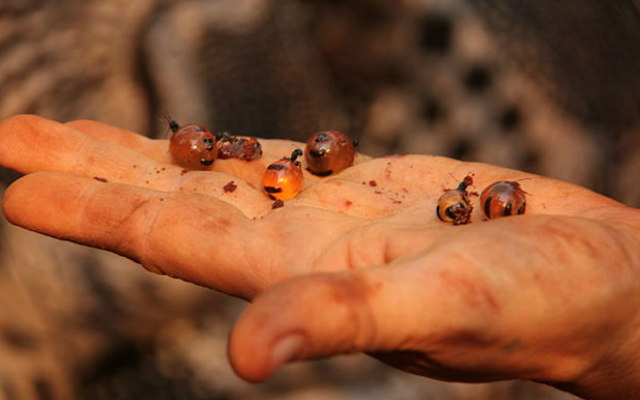 Honeypot_Ants