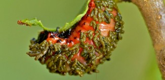 Larva_of_Poison_Arrow_Leaf_Beetle