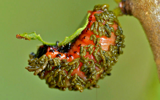 Leaf_beetle_larvae_poop_shield