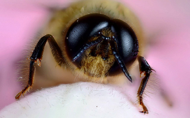 Male_Honey_bee_(Apis mellifera)
