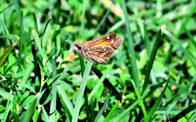 Moth_in_Flight