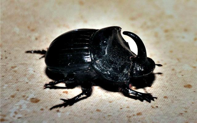 Rhinocerus_beetle