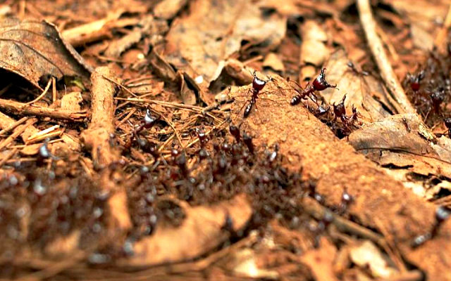 Safari_Ants_-_Kakamega-Forest_Kenya
