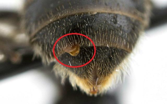 Twisted-wing_parasite_(Strepsiptera)