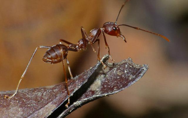 Weaver_Ant_(Oecophylla smaragdina)