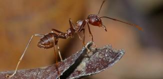 Weaver_Ant_Oecophylla_smaragdina