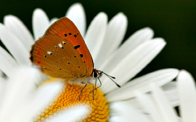 brush_footed_butterfly