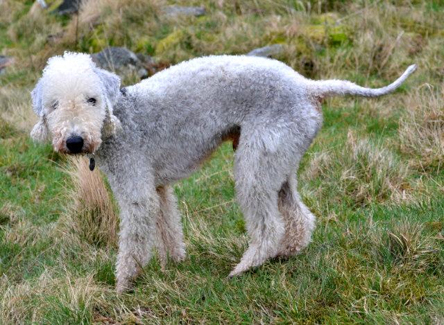 A_Bedlington_Terrier