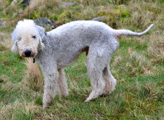 A_Bedlington_Terrier