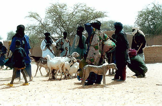 Azawakh_among_the_Tuareg