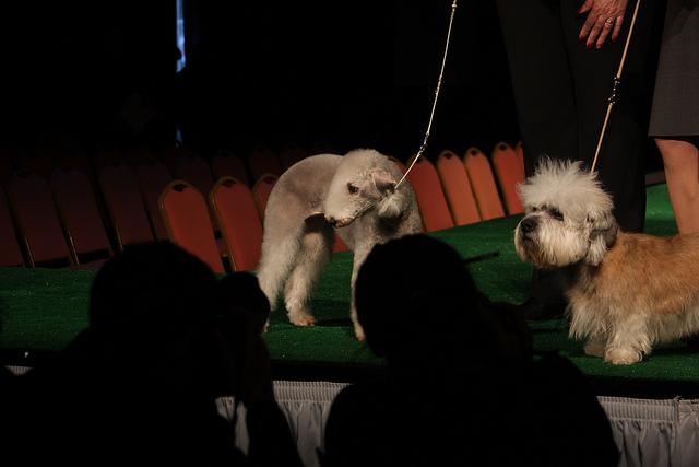 Bedlington_Terrier_and_Dandie_Dinmont_Terrier