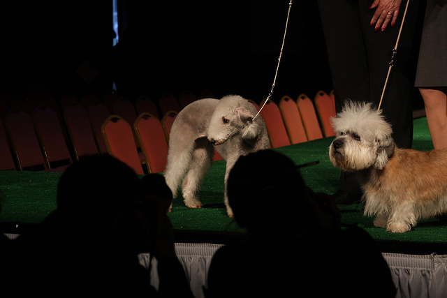 Bedlington_Terrier_and_Dandie_Dinmont_Terrier