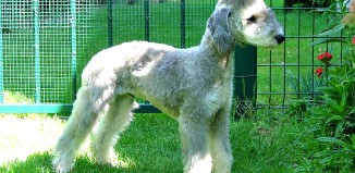 Bedlington_Terrier_dog