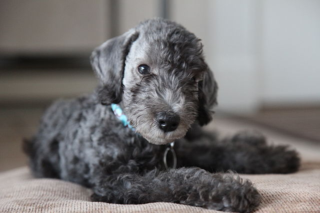 Bedlington_Terrier_puppy
