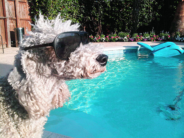 Bedlington_Terrier_swimming_pool