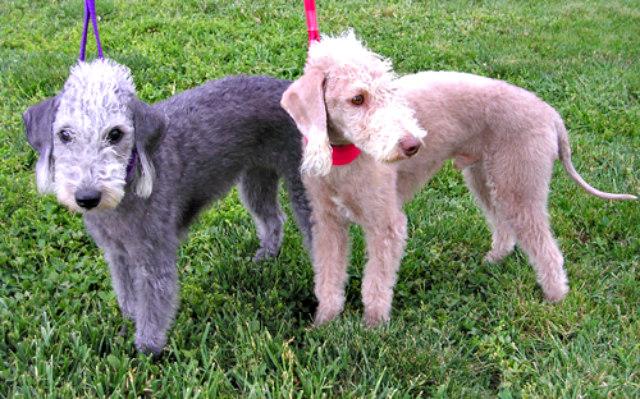 Bedlington_Terriers
