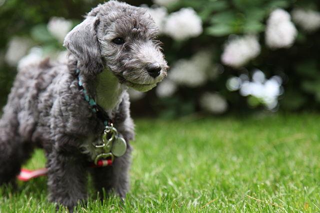 Bedlington_terrier_pup