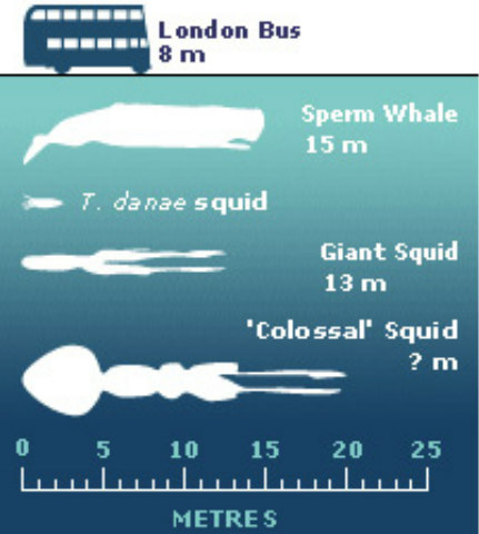 Colossal_Squid_Size_Comparison