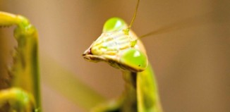 Praying_Mantis_head