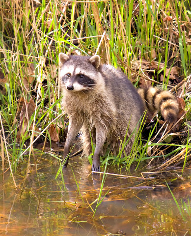 Link 107 do raccoons wash their hands and food fun for Do raccoons eat fish