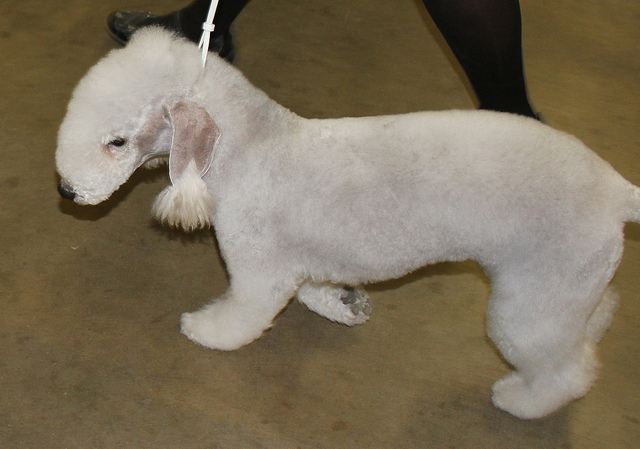 Walking_a_Bedlington_Terrier