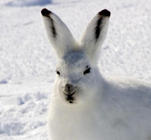 arctic_hare_ears