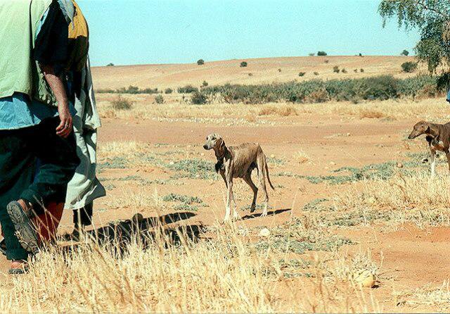 desert_azawakh