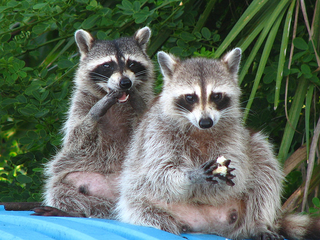 Link 107 Do Raccoons Wash Their Hands And Food Fun Facts You
