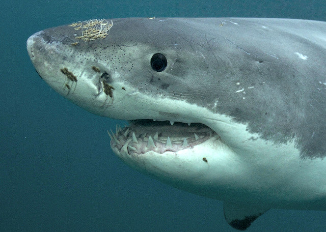 Great_White Shark Sense of Smell