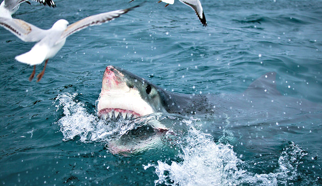 Great White Shark's appetite