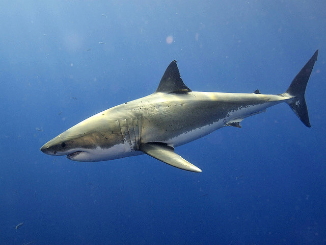 12 Adaptations of the Great White Shark | Fun Facts You Need to Know!