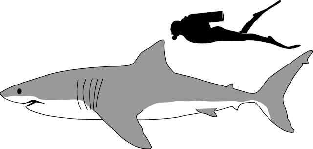 Great white shark size comparison