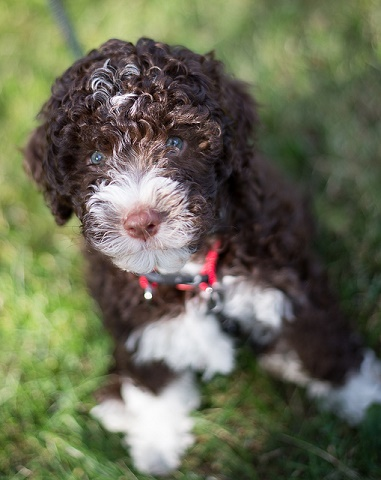Lagotto romagnolo puppy called Tosca