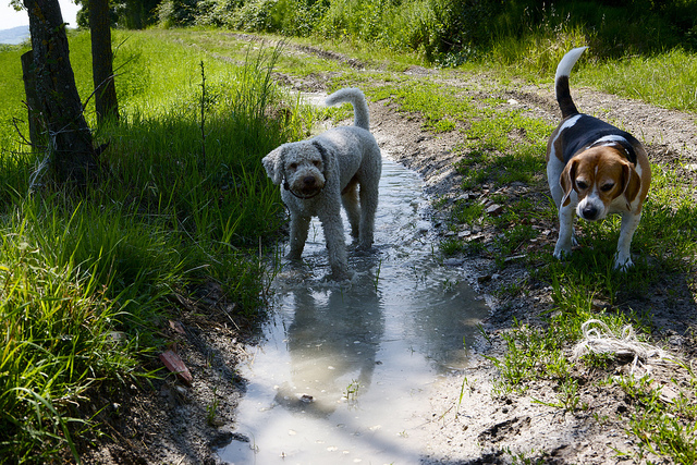 Lagotto Romagnolo playing in water
