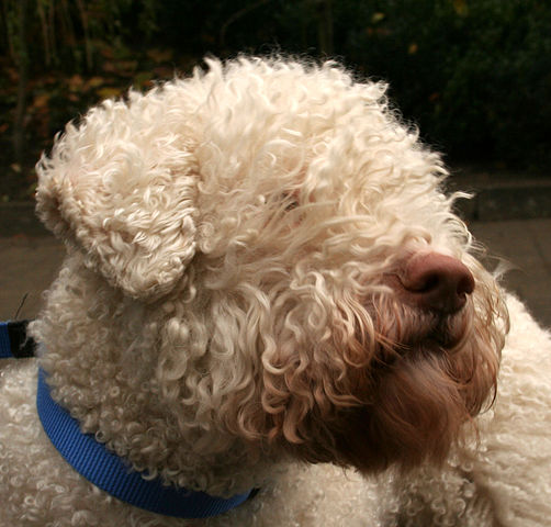 Lagotto romagnolo hair