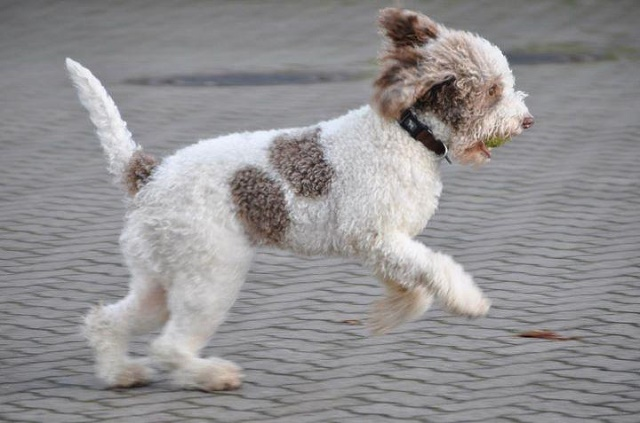 Lagotto Romagnolo playing.