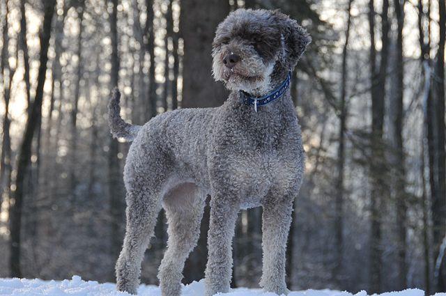 Lagotto watchdog