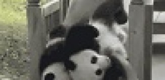 Pandas Thrown on the Slide.