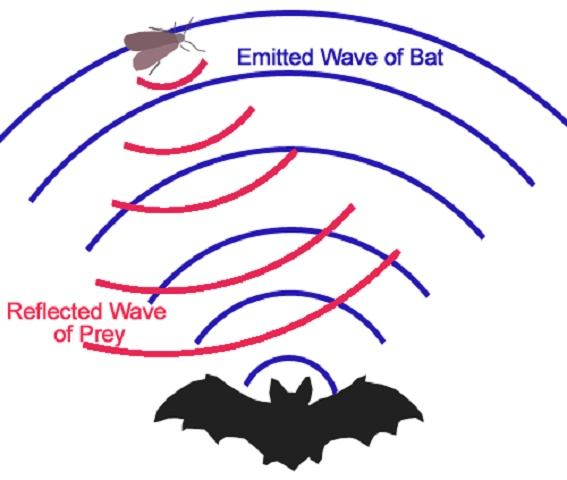 Bat echolocation