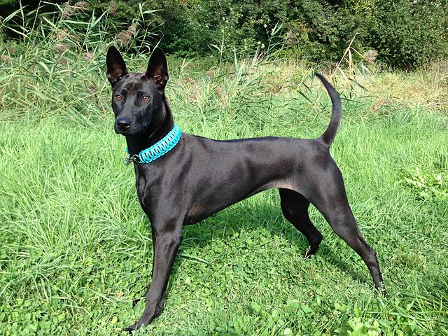 Black female Thai Ridgeback
