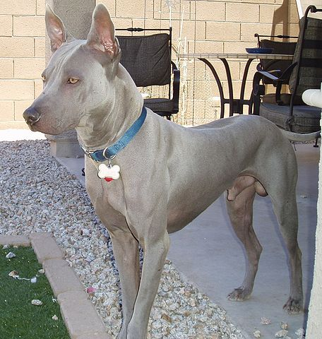 Thai Ridgeback Dogs Ten Facts You Need To Know Always