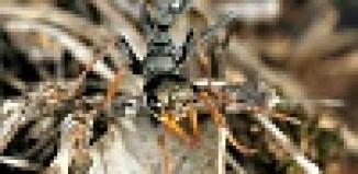 Bull ant Jack jumper
