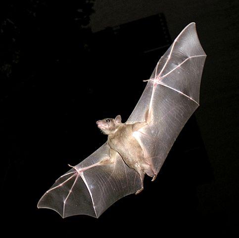 Common_Fruit_Bat