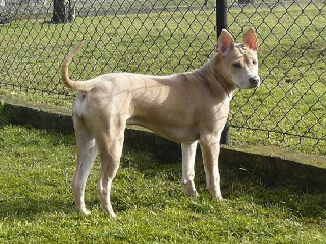 Fenced_Thai_ridgeback