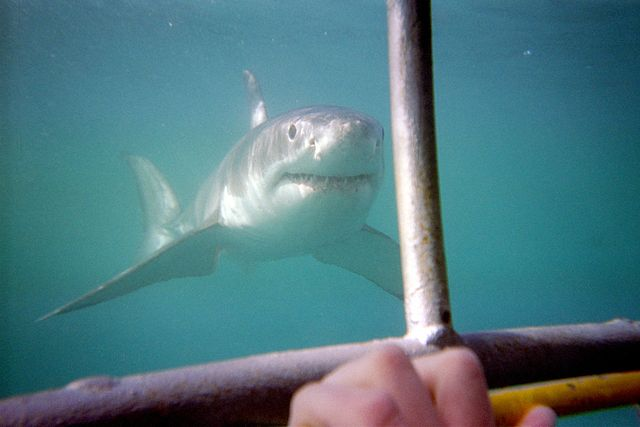 a great white shark eating a person